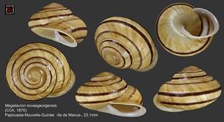 megalacron novaegeorgensis png 23mm1