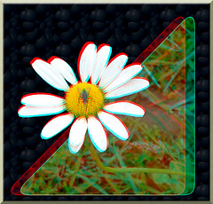 Fly on Flower 2 - Anaglyph 3D (DarkOnus) Tags: fly flower pennsylvania buckscounty huawei mate8 cell phone 3d stereogram stereography stereo darkonus closeup macro insect anaglyph