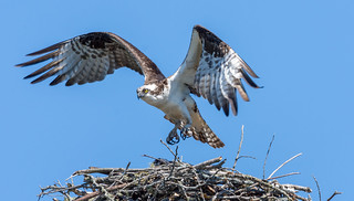 Osprey leaving after bringing fish to the nest