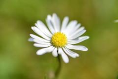 Daisies on a meadow in Aachen on May 20, 2018 (X-Andra) Tags: flowersplants daisies daisy german germany macro meadow spring aachen northrhinewestphalia de
