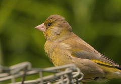 Greenfinch fledgling (Ratsiola) Tags: birds fledglings nature wildlife natural world finches finch greenfinch green eyes environment chicks young