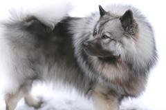 Luna (Irina Valeria) Tags: keeshond wolfspitz spitz winter snow dog pet nikon 135mm fluffy black white cold