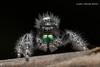 Bold Jumping Spider 7 (strjustin) Tags: boldjumpingspider jumpingspider arachnid spider insect bug beautiful