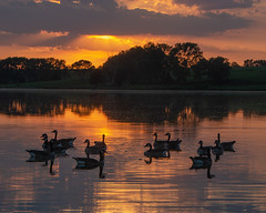 Burchard Lake (corkemup52) Tags: burchardlake lake landscape nebraska nature nikond7000 nikon18200mm geese canadagoose outdoors wildlife waterfowl