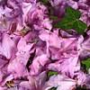 till next year (vertblu) Tags: purple preciouspurple smileonsaturday green rhododendron blossoms fallendown fallenblossoms ontheground ground terrain vertblu 500x500 bsquare kwadrat petals
