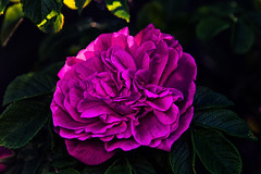 Pink Rose (anderswetterstam) Tags: flowers nature seasons spring floral botanical rose wild freshness growth springtime