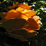 sulphur shelf fungi thumbnail