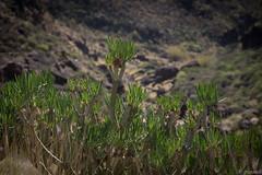 Kleinia neriifolia (JasSpace) Tags: grancanaria holiday january kleinianeriifolia seneciokleinia mogán canarias spain
