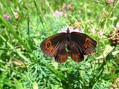 Butterfly 1679 (+1200000 views!) Tags: butterfly borboleta farfalla mariposa papillon schmetterling فراشة