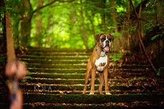 22/52 faerie (Kerstin Mielke) Tags: boxerdog kurt 52weeksfordogs faerie