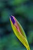 Bud (anderswetterstam) Tags: flowers nature seasons spring green bud lily purple blue macro closeup tree