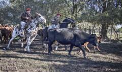 Aparte Campero (Marina-Inamar) Tags: apartecampero argentina buenosaires zarate ganado vacas caballos jinetes campo hombre gaucho