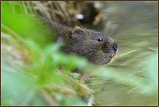 Water Vole (image 2 of 3)