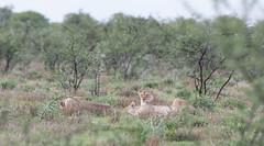 Lionesses. (annick vanderschelden) Tags: lionesses lion lioness cat mammal wildlife animal nature savannah bush grassland southernafricanlionesses etoshanationalpark grass trees africa southernafrica namibia