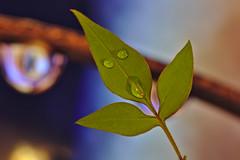 Boo! (R.D. Gallardo) Tags: boo buu ghost fantasma susto scary drop drops gotas gota plant planta hojas hoja estudio darktable canon eos 6d sigma 105mm f28 macro macrofotografia macrofotografía