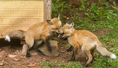 IMGL1462 Pugwash Red Fox Kit(s) (Wallace River) Tags: foxes novascotia pugwashfoxes redfoxes