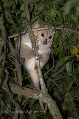 Southern Common Cuscus (Phalanger mimicus) (Brendan Schembri) Tags: phalangermimicus southern cuscus mammal marsupial australia brendanschembri