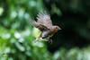 Robin (John R Woodward Photography) Tags: robin birds nature mothernature canon canondslr canoneos canonllenses canon5dmarkiv llenses