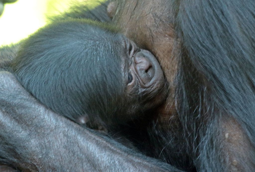 the world's most recently posted photos of afrika and bonobo