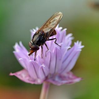 Flyday chive flower