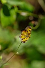 DSC00905.jpg (joe.spandrusyszyn) Tags: orlando crescent nature lepidoptera insect animal shinglecreekregionalpark unitedstatesofamerica phyciodes butterfly phyciodestharos byjoespandrusyszyn pearlcrescent nymphalidae florida arthropod shinglecreek