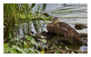 Mottled Duck (Anas fulvigula) MODU - May I present you my muse Cleopatra?:) (best seen large)