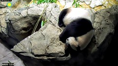 2018_06-09g (gkoo19681) Tags: meixiang beautifulmama sopretty proudmama adorableears fuzzywuzzy naptime covering toobright toocute amazing precious favoritespot comfy ccncby nationalzoo