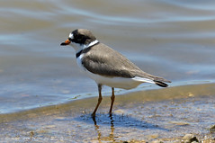 SEMIPALMATED PLOVER 22 (k.nanney) Tags: semipalmatedplover charadriussemipalmatus plover shorebirds waders birds texasbirds texaswildlife hagermannationalwildliferefuge graysoncounty sherman texas tx nikon d800 tamronsp150600mmf563divcusd kennethnanney kennanney nanney laketexoma redriver wildliferefuge nationalwildliferefuge centralflyway