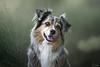 A volte basta uno sguardo (Sonia Valdes) Tags: cane australian australiano dog ritratto portrait
