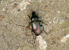 Ground Beetle --- Poecilus cupreus (creaturesnapper) Tags: coleoptera carabidae beetles poeciluscupreus groundbeetles uk europe insects