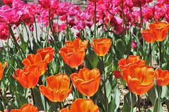 Brookside Gardens ~ vibrant tulips (karma (Karen)) Tags: wheaton maryland brooksidegardens parks flowers tulips brightcolors dof bokeh cmwd hbw topf25