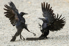 Great-tailed Grackles - Agression Display Sequence (Bob Gunderson) Tags: birds california greattailedgrackle icterids lasgallinas marincounty northbay northerncalifornia quiscalusmexicanus