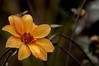 Gazania Wet (Bxdogwalker) Tags: centralpark conservatory flowers spring