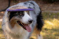 Raspberry Beret (Jasper's Human) Tags: aussie australianshepherd dog frisbee raspberryberet flippyflopper