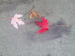 11-05-17 Dayton 63 leaves, fall color (Chicagoan in Ohio) Tags: dayton clouds sun sunhalo leaves fallcolor