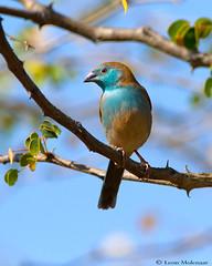 Blue Waxbill (leendert3) Tags: leonmolenaar krugernationalpark southafrica wildlife nature birds bluewaxbill ngc npc