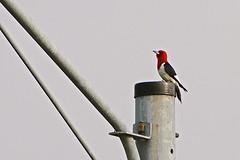Red-headed Woodpecker (deanrr) Tags: redheadedwoodpecker woodpecker nature outdoor redwhiteandblack morgancountyalabama alabama bird feathers patterns