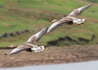 Greylag Geese(Anser anser)