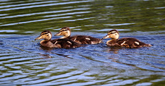 Ducklings. (Chris Kilpatrick) Tags: chris canon canon7dmk2 outdoor wildlife nature duckling isleofman ballannette water sigma150mm600mm bird animal cute