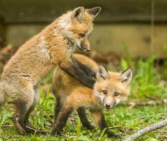 IMGL1396 Pugwash Red Fox Kit(s) (Wallace River) Tags: foxes novascotia pugwashfoxes redfoxes