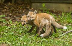 IMGL1307 Pugwash Red Fox Kit(s) (Wallace River) Tags: foxes novascotia pugwashfoxes redfoxes