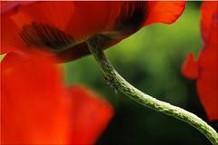 Poppy (gatierf) Tags: mohn garten rot red poppy ameisen läuse