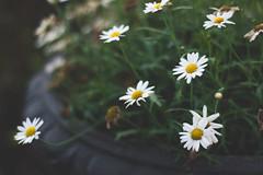 Flowers (lorenzo.lotufo97) Tags: nikon nikond3200 d3200 flowers flower 50mm 50mm18 photography