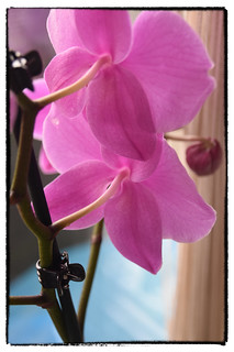 Phalaenopsis Bottom (SoS)
