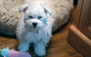wake me when it's over (Dotsy McCurly) Tags: nikond850 tokinaatxm100prod100mmf28macro 7dwf fauna animal bunny cute dog maltese eyesclosed sweet baby puppy
