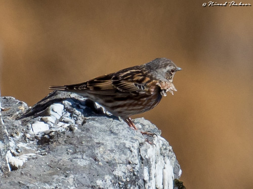 """Altai Accentor (Lifer) • <a style=""""font-size:0.8em;"""" href=""""http://www.flickr.com/photos/59465790@N04/40915805080/"""" target=""""_blank"""">View on Flickr</a>"""