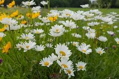 London Meadows (Adam Swaine) Tags: flora flowers wildflowers londonmeadows meadows englishmeadows dulwichpark naturelovers nature uk londonparks parks canon england english summer britain petals macro london 2018