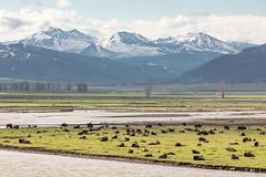 Bison rest alongside Lamar River (YellowstoneNPS) Tags: lamarriver lamarvalley saddlemountain ynp yellowstone yellowstonenationalpark bison spring