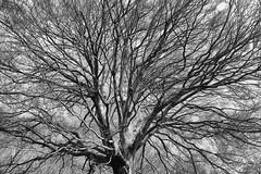 albero (enrico sprea) Tags: faggio albero pianta chioma bosco rami terzalpe cornidicanzo prealpi lombardia provinciadilecco triangololariano italia fontedelfoo lagodicomo lario riservanaturaledelsassomalascarpa colmadivalravella gajum allaperto pentaxlife sentiero trekking intreccio luci ombre biancoenero bwartaward blackandwhite monocromo sole foresta primavera riflessi canzo valassina boscaglia selva macchia corteccia tronco fusto piantasecolare monumento piantamonumentale camminare crescita natura incrocio astratto