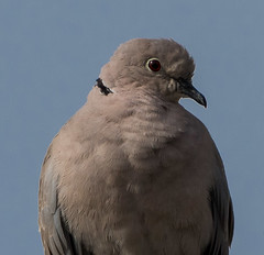 Collared Dove closeup